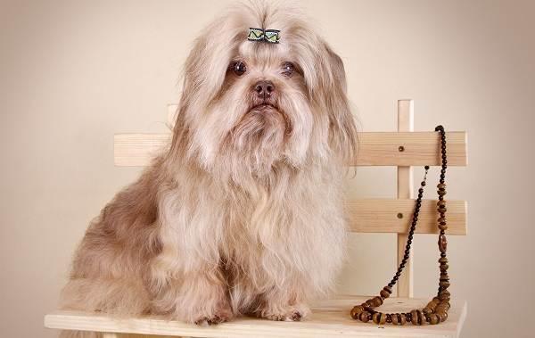 Русская-болонка-собака-Описание-особенности-виды-уход-и-цена-породы-3
