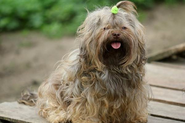 Русская-болонка-собака-Описание-особенности-виды-уход-и-цена-породы-6