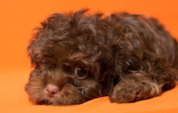 Русская-болонка-собака-Описание-особенности-виды-уход-и-цена-породы-7