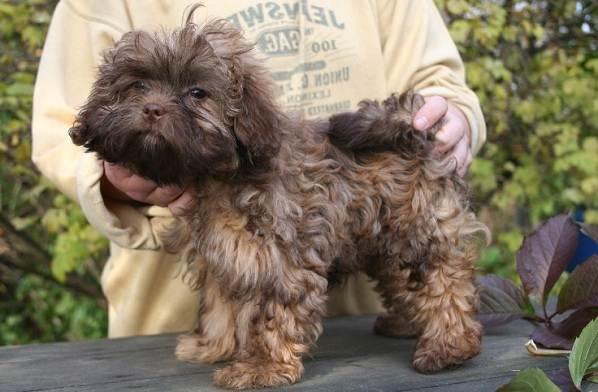 Русская-болонка-собака-Описание-особенности-виды-уход-и-цена-породы-9
