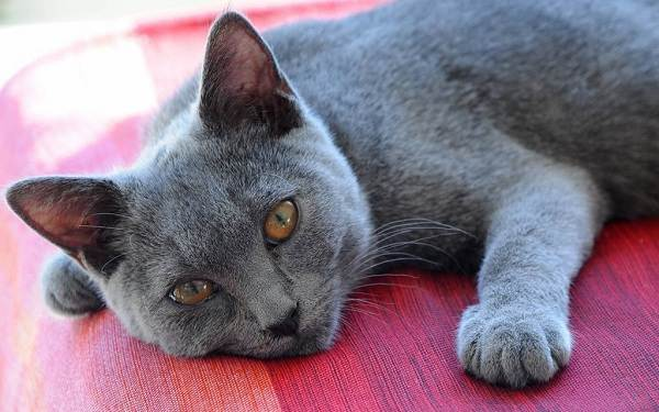 Шартрез-кошка-Описание-особенности-характер-уход-и-цена-породы-шартрез-1