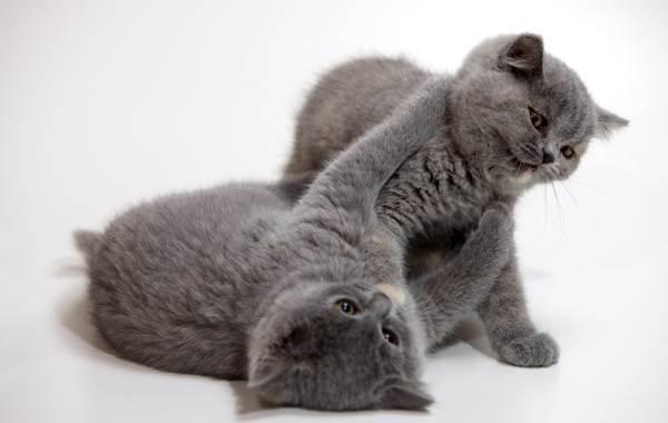 Шартрез-кошка-Описание-особенности-характер-уход-и-цена-породы-шартрез-10