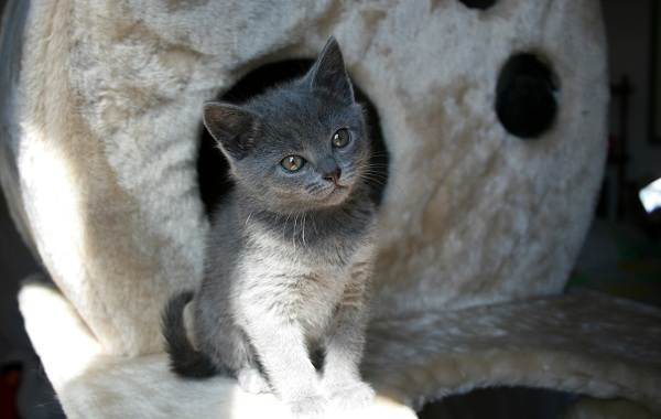 Шартрез-кошка-Описание-особенности-характер-уход-и-цена-породы-шартрез-11