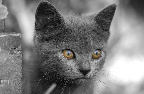 Шартрез-кошка-Описание-особенности-характер-уход-и-цена-породы-шартрез-12