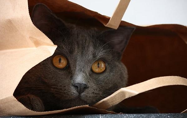 Шартрез-кошка-Описание-особенности-характер-уход-и-цена-породы-шартрез-13