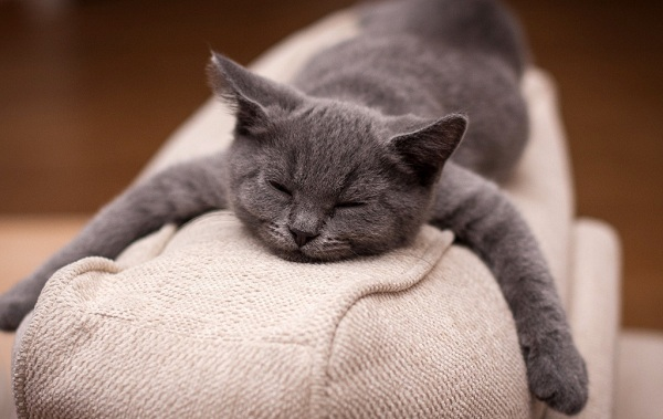 Шартрез-кошка-Описание-особенности-характер-уход-и-цена-породы-шартрез-14