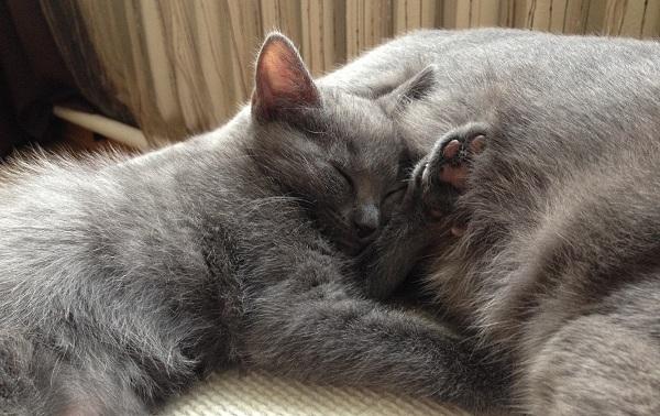 Шартрез-кошка-Описание-особенности-характер-уход-и-цена-породы-шартрез-16