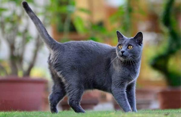 Шартрез-кошка-Описание-особенности-характер-уход-и-цена-породы-шартрез-2