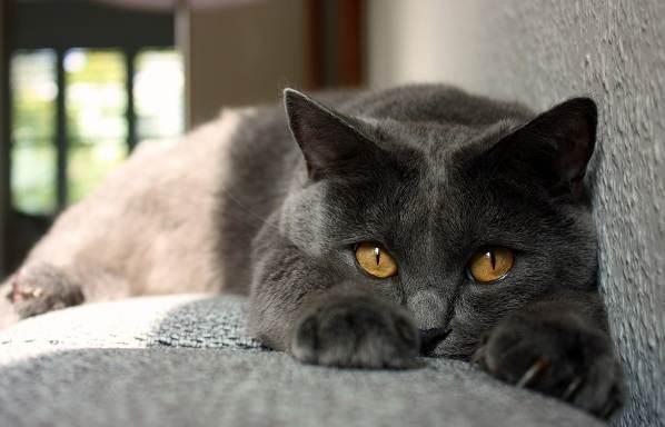 Шартрез-кошка-Описание-особенности-характер-уход-и-цена-породы-шартрез-4