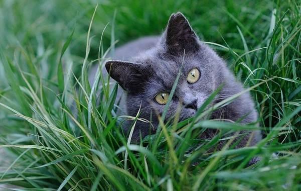 Шартрез-кошка-Описание-особенности-характер-уход-и-цена-породы-шартрез-5