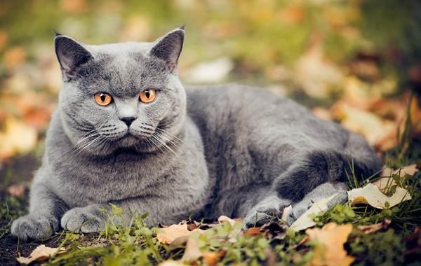 Шартрез кошка. Описание, особенности, характер, уход и цена породы шартрез