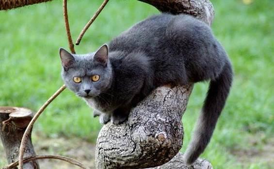 Шартрез-кошка-Описание-особенности-характер-уход-и-цена-породы-шартрез-7