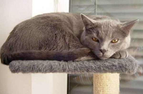 Шартрез-кошка-Описание-особенности-характер-уход-и-цена-породы-шартрез-8