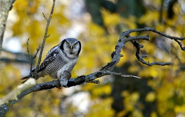 Сова-птица-Описание-особенности-виды-образ-жизни-и-среда-обитания-совы-10