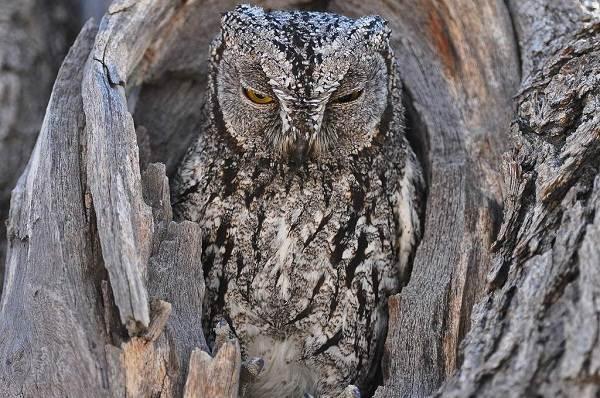 Сова-птица-Описание-особенности-виды-образ-жизни-и-среда-обитания-совы-11