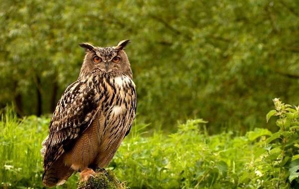 Сова-птица-Описание-особенности-виды-образ-жизни-и-среда-обитания-совы-12