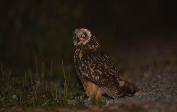 Сова-птица-Описание-особенности-виды-образ-жизни-и-среда-обитания-совы-13