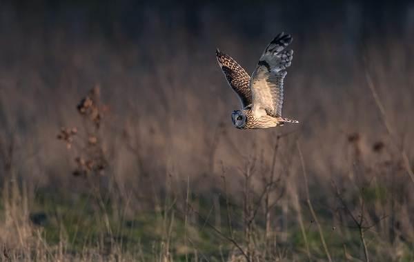 Сова-птица-Описание-особенности-виды-образ-жизни-и-среда-обитания-совы-14