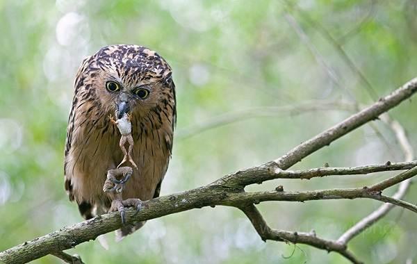Сова-птица-Описание-особенности-виды-образ-жизни-и-среда-обитания-совы-15