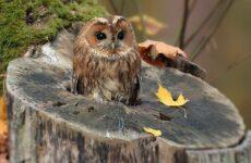 Сова птица. Описание, особенности, виды, образ жизни и среда обитания совы