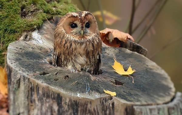 Сова-птица-Описание-особенности-виды-образ-жизни-и-среда-обитания-совы-17