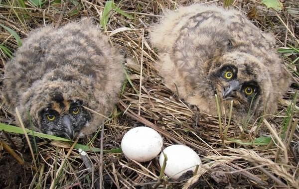 Сова-птица-Описание-особенности-виды-образ-жизни-и-среда-обитания-совы-18
