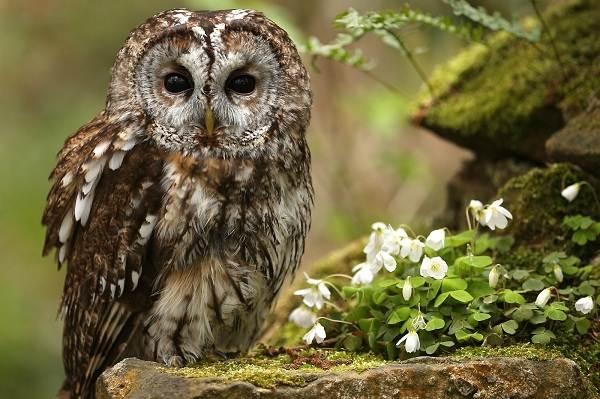 Сова-птица-Описание-особенности-виды-образ-жизни-и-среда-обитания-совы-3