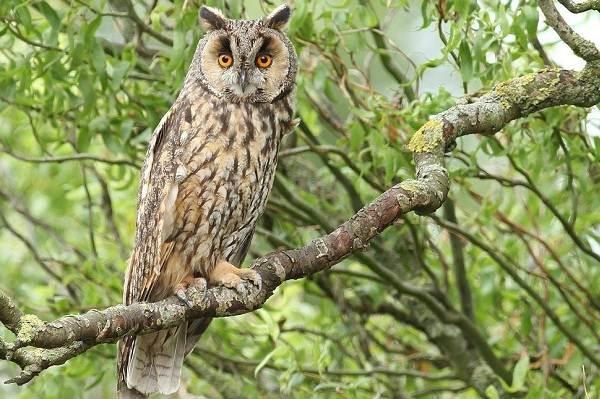 Сова-птица-Описание-особенности-виды-образ-жизни-и-среда-обитания-совы-4
