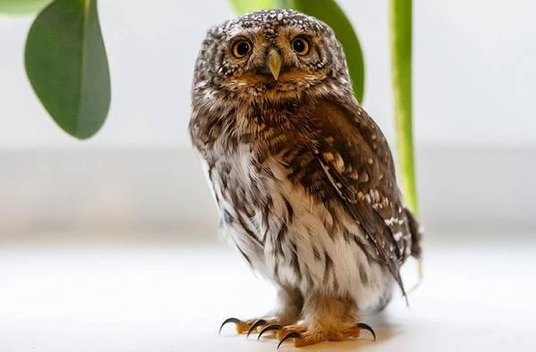 Сова-птица-Описание-особенности-виды-образ-жизни-и-среда-обитания-совы-6