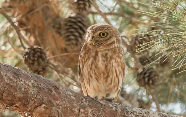 Сова-птица-Описание-особенности-виды-образ-жизни-и-среда-обитания-совы-7