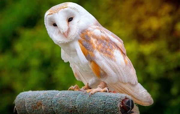 Сова-птица-Описание-особенности-виды-образ-жизни-и-среда-обитания-совы-8