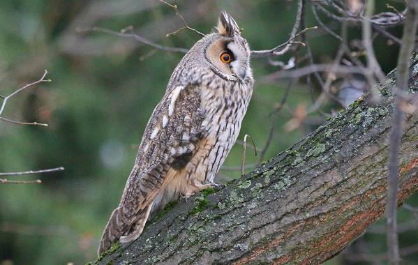 Сова-птица-Описание-особенности-виды-образ-жизни-и-среда-обитания-совы