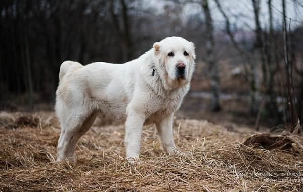 Среднеазиатская-овчарка-Алабай-Описание-особенности-виды-уход-и-цена-породы-5