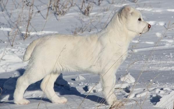 Среднеазиатская-овчарка-Алабай-Описание-особенности-виды-уход-и-цена-породы-6