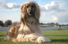 Афганская борзая собака. Описание, особенности, виды, уход и цена породы