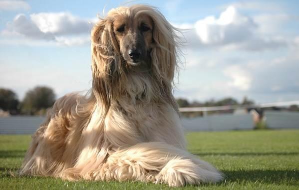 Афганская-борзая-собака-Описание-особенности-виды-уход-и-цена-породы-1