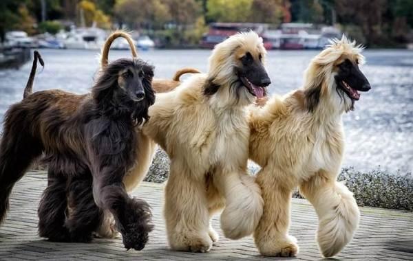 Афганская-борзая-собака-Описание-особенности-виды-уход-и-цена-породы-10