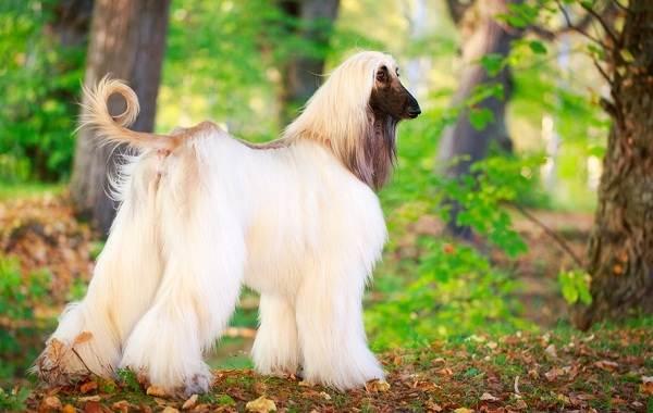 Афганская-борзая-собака-Описание-особенности-виды-уход-и-цена-породы-11