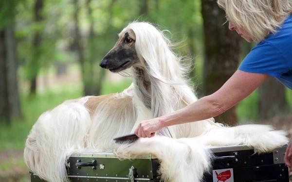 Афганская-борзая-собака-Описание-особенности-виды-уход-и-цена-породы-12