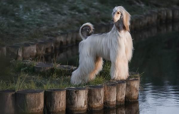 Афганская-борзая-собака-Описание-особенности-виды-уход-и-цена-породы-13