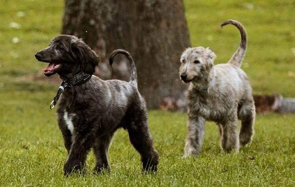 Афганская-борзая-собака-Описание-особенности-виды-уход-и-цена-породы-14