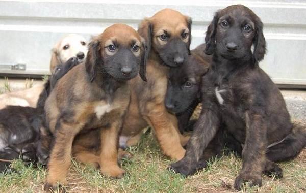 Афганская-борзая-собака-Описание-особенности-виды-уход-и-цена-породы-15