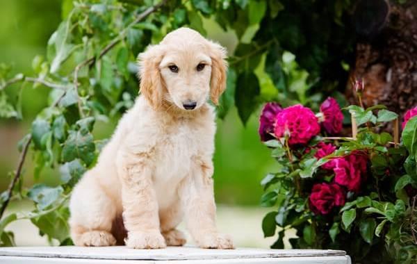 Афганская-борзая-собака-Описание-особенности-виды-уход-и-цена-породы-18