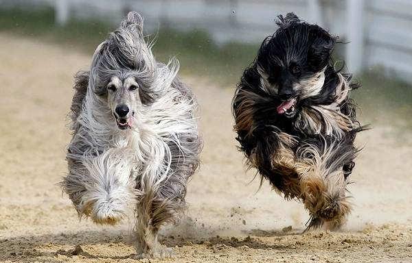 Афганская-борзая-собака-Описание-особенности-виды-уход-и-цена-породы-19