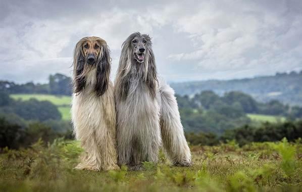 Афганская-борзая-собака-Описание-особенности-виды-уход-и-цена-породы-2