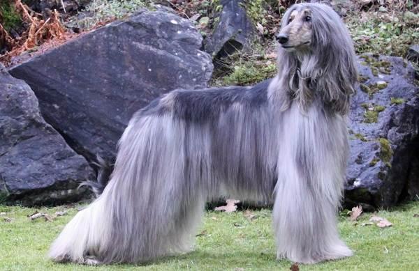 Афганская-борзая-собака-Описание-особенности-виды-уход-и-цена-породы-3
