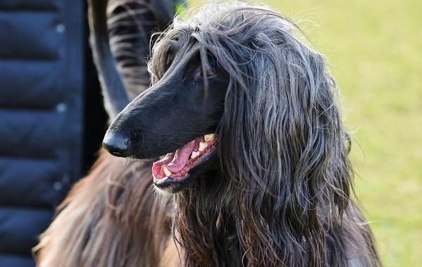 Афганская-борзая-собака-Описание-особенности-виды-уход-и-цена-породы-5