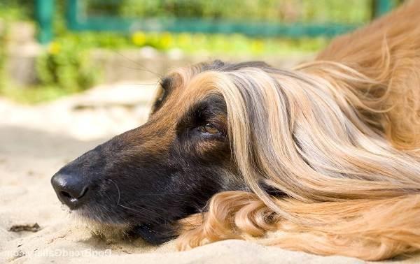 Афганская-борзая-собака-Описание-особенности-виды-уход-и-цена-породы-6