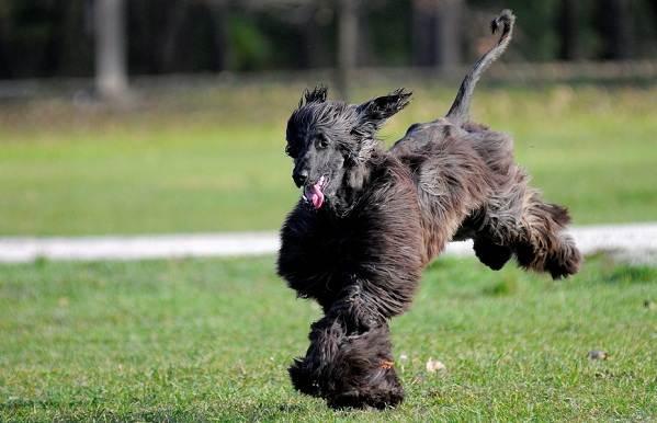 Афганская-борзая-собака-Описание-особенности-виды-уход-и-цена-породы-8