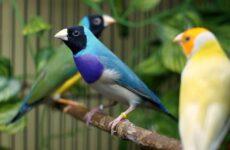 Амадины птицы. Описание, особенности, виды, образ жизни и среда обитания амадин